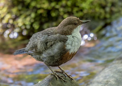 DSC2668  Dipper.. (jefflack Wildlife&Nature) Tags: dipper dippers birds avian animal animals wildlife wildbirds waterbirds riverbirds streams waterways rivers countryside nature