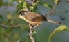plain prinia (praveen.ap) Tags: plain prinia whitebrowed wrenwarbler plainprinia whitebrowedwrenwarbler tamilnadu veedur veedurdam
