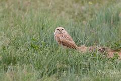 Burrowing Owl watching a passing hawk