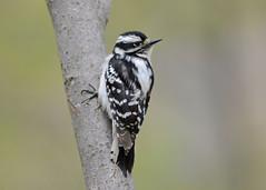 Downy Woodpecker (av8s) Tags: downywoodpecker woodpecker treeclingingbirds birds nature wildlife pennsylvania pa photography nikon d7100 sigma 120400mm