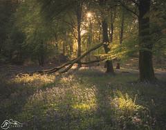 Rusland Valley II (►►M J Turner Photography ◄◄) Tags: ruslandvalley lakedistrict cumbria england unitedkingdom woodland bluebells sunset unescoworldheritagesite worldheritagesite unesco