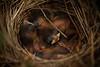 Nestled (Grant is a Grant) Tags: annapolisvalley d7200 nikkor nikon novascotia ns spring birds birdsnest nest sparrow newborn hatchling