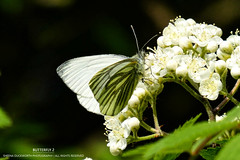BUTTERFLY (2) (...She) Tags: sheenaduckworthphotography butterfly butterflies wings insect insects nature wildlife spring outdoors bug bugs animal pretty mood atmosphere