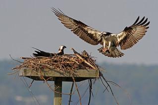 IMG_7221A Osprey bringing meal