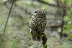 05202018Barred Owl FU5A1937 (Steven Arvid Gerde) Tags: owl