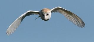 Barn owl on hunt
