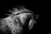 flow (Jen MacNeill) Tags: horse horses equine bw blackandwhite bnw arabian mane fast movement fleabitten grey