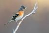 brambling (leonardo manetti) Tags: uccello bird nature red winter colours naturephotography field natural nikkor countryside green morning black albero dawn sunrise brambling nikon d850