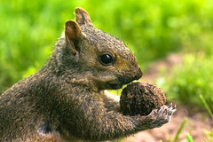 Squirrel with Walnut (CanonDLee) Tags: animal furry grass green mammal nature squirrel wildlife
