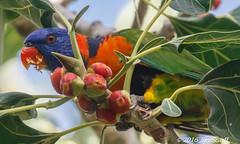 Rainbow Lorikeet (Jim Scarff) Tags: australianbirds lorikeets parrots parrotsandcockatoos rainbowlorikeet trichoglossushaematodus darwin northernterritory australia exif:focallength=476mm exif:aperture=ƒ13 exif:lens=ef100400mmf4556lisiiusm14xiii camera:model=canoneos7dmarkii camera:make=canon geo:country=australia geo:lon=130837435 geo:state=northernterritory geo:city=darwin geo:lat=12446023333333 exif:model=canoneos7dmarkii geo:location=georgebrowndarwinbotanicgardens exif:isospeed=4000 exif:make=canon
