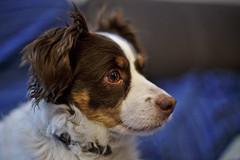 Buru 50 (R.D. Gallardo) Tags: buru 50 canon eos 6d 50mm f14 retrato raw perro dog interior iso high