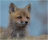 Just a Baby (Summerside90) Tags: fox kits den april spring nature wildlife ontario canada