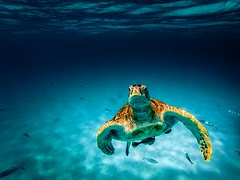 Snorkeling with Turtles 🐢 in Palau Redang, Malaysia (www.GoAndRide.co) Tags: redang diving underwater turtles turtle snorkeling
