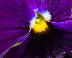 Purpleology (risaclics) Tags: guess what it iscrazy tuesday theme7dwf make me smile60mm macro7dwapril 2018fairfax virginianikon d610floraflowerspurpleguess theme7dwfmakemesmile 60mmmacro 7dw april2018 fairfaxvirginia nikond610 flora flowers purple d610 macromademoiselle