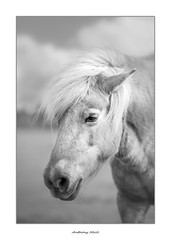 The Shetland pony (AnthonyCNeill) Tags: horse pferd caballo cheval black white negro blanco schwarz weiss blanc noir equine equestrian animal portrait shetland pony face headshot nikon d750 85mm f14 f18