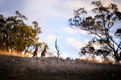 Wild Kangaroos in Australia. (www.ziggywellens.com) Tags: kangaroo hill mountain sunset australia wildlife vibrant animal