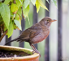 BLACKBIRD 6 (Nigel Bewley) Tags: blackbird turdusmerula thrush ealing london england uk garden backyard w5 wildlife naturalhistory greatoutdoors wildlifephotography endangeredwildlife bird birds avian birdlife distinguishedbirds birdwatcher creativephotography artphotography unlimitedphotos may may2018 nigelbewley photologo winterwatch rspb springwatch appicoftheweek
