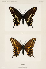 Black Swallowtail (Papilio Asterias) from Moths and butterflies of the United States (1900) by Sherman F. Denton (1856-1937). Digitally enhanced from our own publication. (Vintage illustrations by rawpixel) Tags: moth usa america antique asterias black butterfly eastoftherockymountains illustration mothsandbutterfliesoftheunitedstates mothsandbutterfliesoftheusa name papilio shermanfdenton shermanfootedenton swallowtail vintage