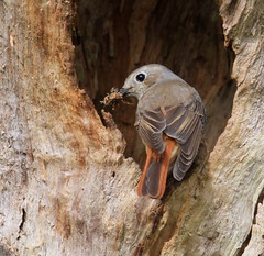 COMMON REDSTART ♀️ (Bradders62) Tags: commonredstart sigma150500mmf563dgoshsmlens canoneos7d yarnerwood devon dartmoor southwest birds wildbirds gardenbirds britishbirds nature wildlife