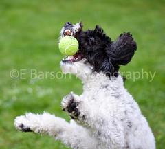 Rio with his new toy (edwinbarson) Tags: pet dog dogs cockapoo playing ball nikon photography animals