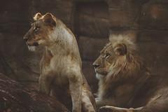 Power Couple (MudMapImages) Tags: lion lioness pride conservation vulnerable savelions