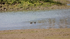 Zwei Steinwälzer  (Arenaria interpres) (fotoculus) Tags: portugal algarve riaformosa quintadelago saolourenco vögel aves birds loiseaux steinwälzer arenariainterpres