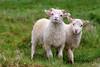 Ich passe auf dich auf! (Söckchen) Tags: schafe sheep island iceland