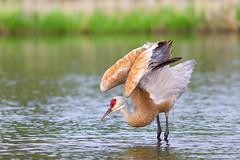 (Mark Klotz) Tags: sandhillcrane burnabylakeregionalpark burnabylake burnaby bcwildlife birds antigonecanadensis canada canadianwildlife beautifulbirds