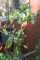 """Überwinterte Chili """"Jalapeno Concho"""" (blumenbiene) Tags: chilipflanze chilipflanzen chili chilli chillie chilie plant plants pflanze pflanzen garten garden pepper peppers outdoor überwinterung overwinter hibernate überwintern"""