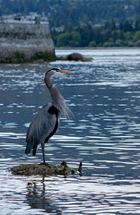 The Observer (Sworldguy) Tags: heron bird greatblueheron ecology stanleypark nature wildlife seawall sonya73