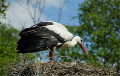 a stork, preparing the nest............. (atsjebosma) Tags: stork ooievaar nest preparing bird vogel spring lente voorjaar may atsjebosma eeernewoude friesland thenetherlands 2018 ngc npc