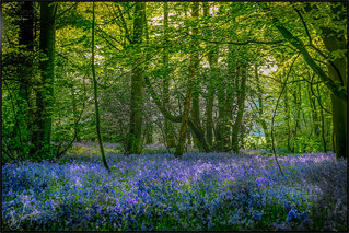 It wouldn't be May without Bluebells