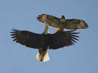 Bald Eagle, Red-Tailed Hawk conflict.