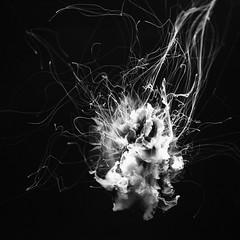 Man O' War No. 3 (Mabry Campbell) Tags: galveston moodygardensaquariium texas usa animal aquarium blackandwhite image jellyfish ocean photo photograph squarecrop water f35 mabrycampbell july 2017 july152017 20170715campbellh6a5678 100mm ¹⁄₁₀₀sec 8000 ef100mmf28lmacroisusm