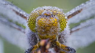 Dragonfly eyes covered by dewdrops