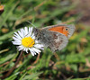 Small Heath Butterfly (Coenonympha pamphilus) (RiverCrouchWalker) Tags: coenonymphapamphilus smallheath butterfly insect invertebrate marshfarmcountrypark southwoodhamferrers essex may 2018 spring daisy grass bellisperennis