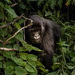 Gorilla in the jungle thumbnail