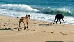 Ina and Friend (michaeldantesalazar) Tags: dog stray beach ocean blue green sand play fun animal chile travel southamerica travelling traveller mutt spanish beachvibes nature vacation wave