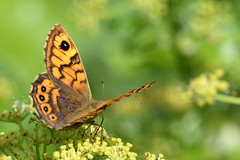 Wall Brown North Norfolk (JohnMannPhoto) Tags: wall brown north norfolk