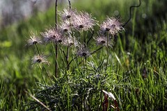 """Pasque flower seed heads (""""Jerry"""" Newman) Tags:"""
