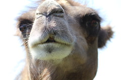Do you want a Kiss ??? moulting time for Josephine ! (excellentzebu1050) Tags: camelus closeup camel camelusbactrianus farm animal animalportraits moulting closup coth coth5 sunrays5