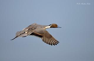 In-Flight Pintail...