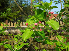 pink apple tree (cloversun19) Tags: soil pink tree apple appletree appleflower flower macro wood trees branch branches green white spring may sun morning blossom springimage garden bright flowers grass summer love story warm romantic beauty glory happy positive blooming blossoming bloom flowering june picture flowerimages image red summerimage butterfly fence
