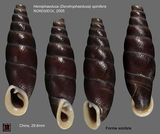 hemiphaedusa (dendrophaedusa) spinifera chine 29mm8