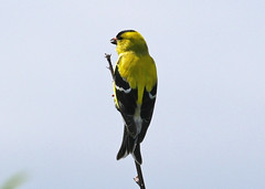 American Goldfinch (bug-in-my-eye) Tags: aves passeriformes fringillidae