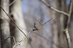 Golden-Crowned Kinglet at Maybury State Park (Northville, Michigan) - April 2018 (cseeman) Tags: parks stateparks michiganstateparks departmentofnaturalresources michigandepartmentofnaturalresources northville michigan maybury mayburystatepark trees trails paths nature publicparks wildlife mayburyapril2018 kinglet goldencrownedkinglet birds mayburyapril2018goldencrownedkinglet