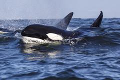 Bigg's Transient Killer Whale (toryjk) Tags: killerwhale killer orca orcinusorca wildlife wild ocean sea dolphin black white mbww monterey montereybay montereybaywhalewatch