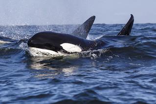 Bigg's Transient Killer Whale