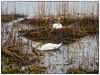 Svaner i Nordbytjernet (Krogen) Tags: norge norway norwegen akershus romerike ullensaker nordbytjernet svaner swans krogen olympusthough4