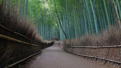Kyoto's Sagano Bamboo Forest (maco-nonch★R) Tags: arashiyama bamboo forest sagano saga kioto kyoto giappone giapponese japanischer japanesephotographer japon japonés japan japón path night panasonic lumix dmcgm1 dmwgwc1 wideconversion 嵐山 嵯峨 longexposure